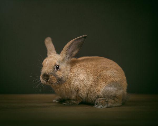 studio photograph of pet rabbit
