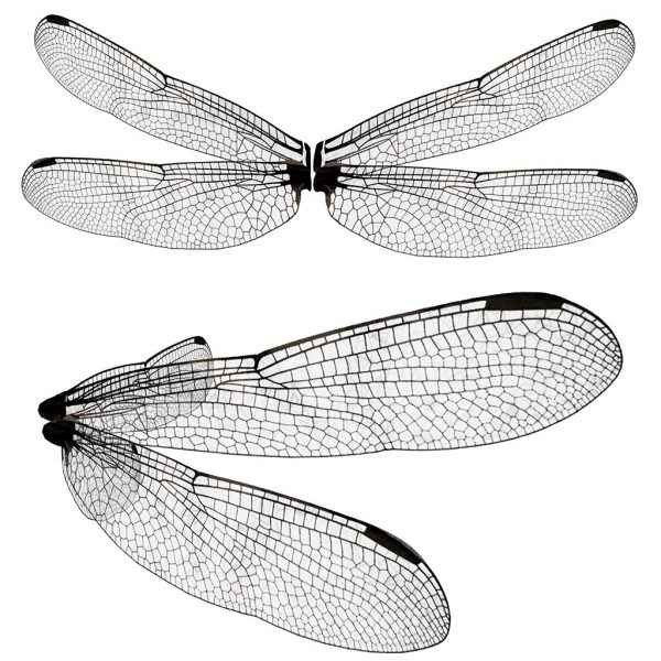 dragonfly wing overlay for photoshop