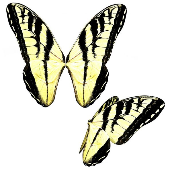 swallowtail butterfly wing overlay for photoshop