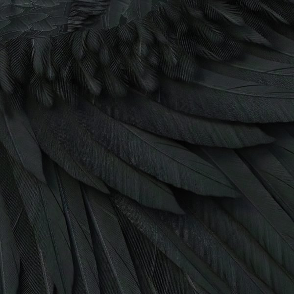 detail of high resolution black crow or raven wing overlays for photoshop